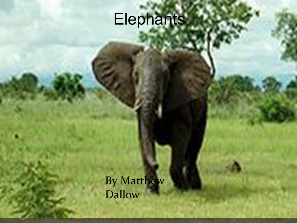 Elephants By Matthew Dallow