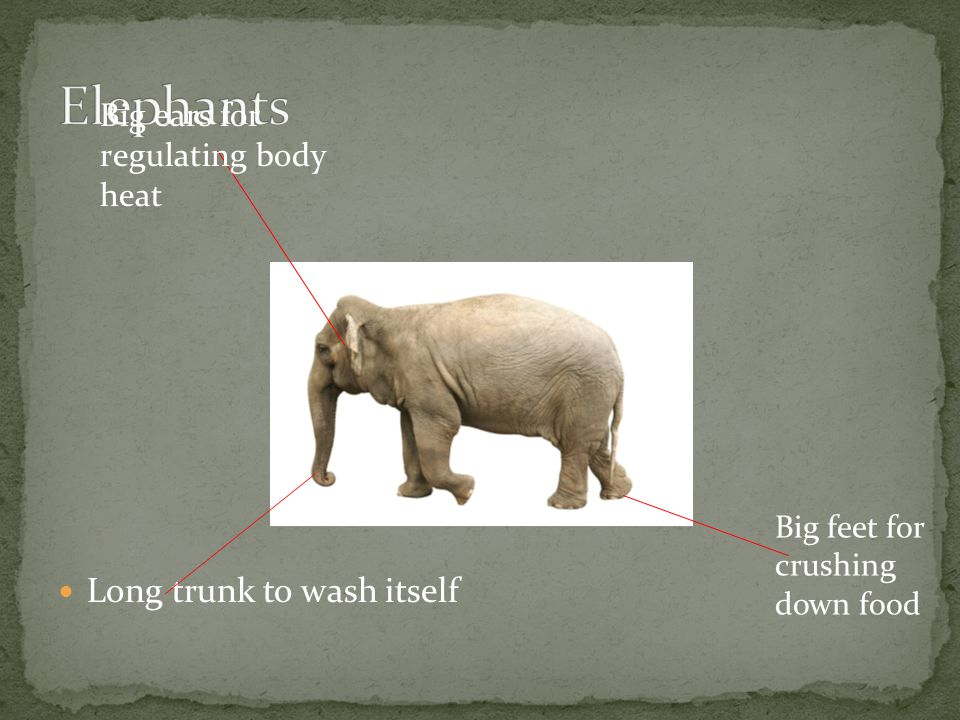 Long trunk to wash itself Big ears for regulating body heat Big feet for crushing down food