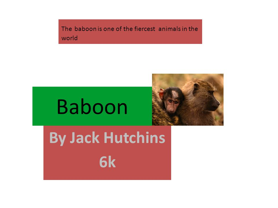 Baboon By Jack Hutchins 6k The baboon is one of the fiercest animals in the world