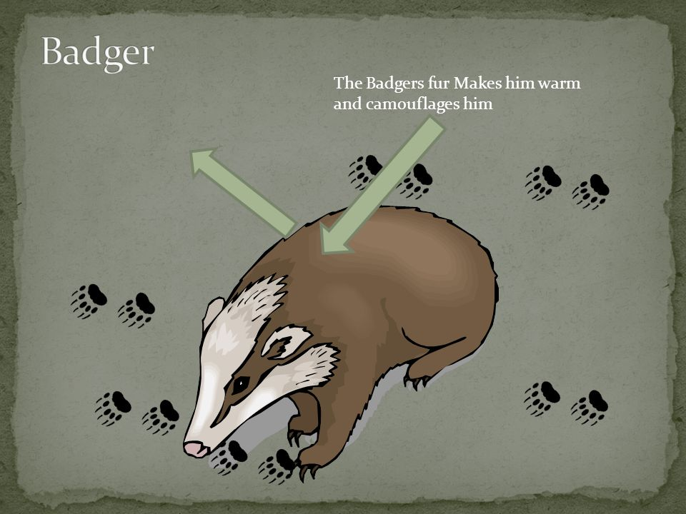 The Badgers fur Makes him warm and camouflages him