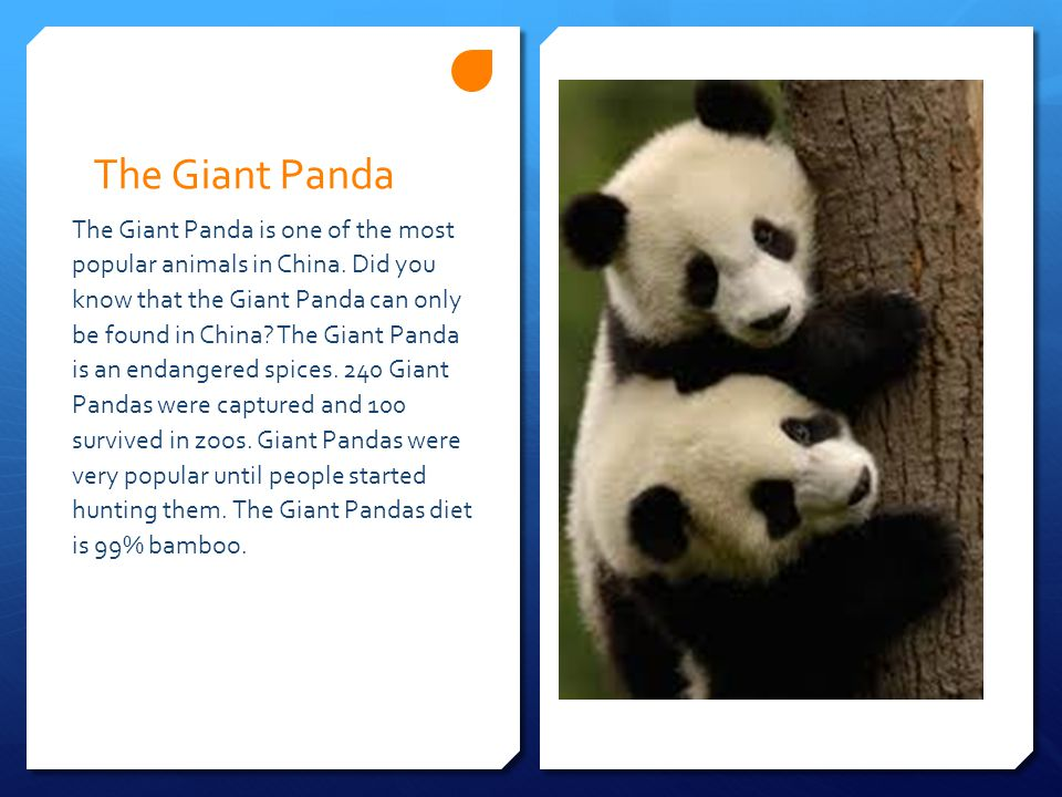 The Giant Panda The Giant Panda is one of the most popular animals in China.