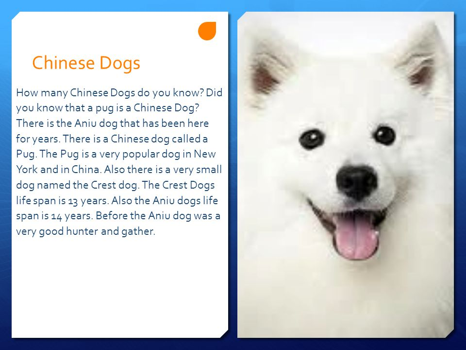 Chinese Dogs How many Chinese Dogs do you know. Did you know that a pug is a Chinese Dog.