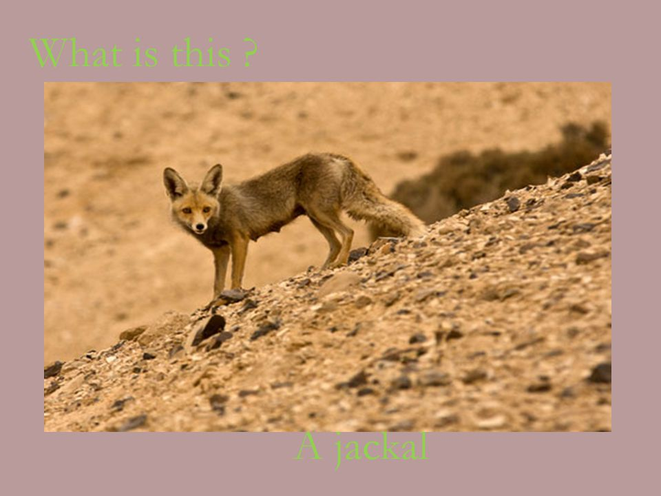 What is this A jackal