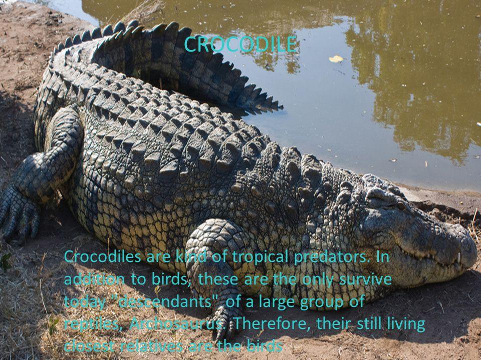 CROCODILE Crocodiles are kind of tropical predators.
