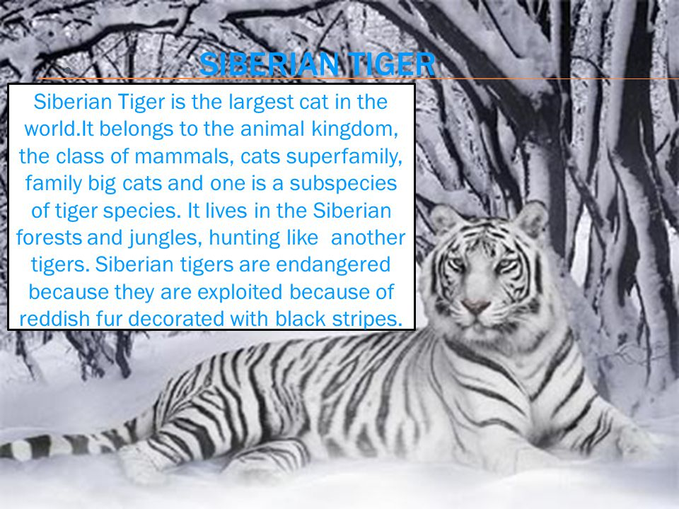 ● SIBERIAN TIGER Siberian Tiger is the largest cat in the world.It belongs to the animal kingdom, the class of mammals, cats superfamily, family big cats and one is a subspecies of tiger species.