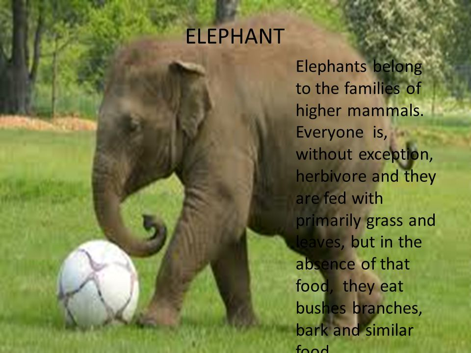 ELEPHANT Elephants belong to the families of higher mammals.