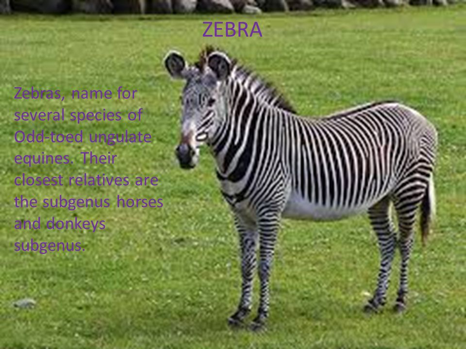 ZEBRA Zebras, name for several species of Odd-toed ungulate equines. Their closest relatives are the subgenus horses and donkeys subgenus.