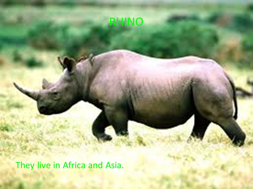 RHINO They live in Africa and Asia.