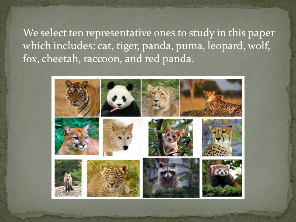 We select ten representative ones to study in this paper which includes: cat, tiger, panda, puma, leopard, wolf, fox, cheetah, raccoon, and red panda.