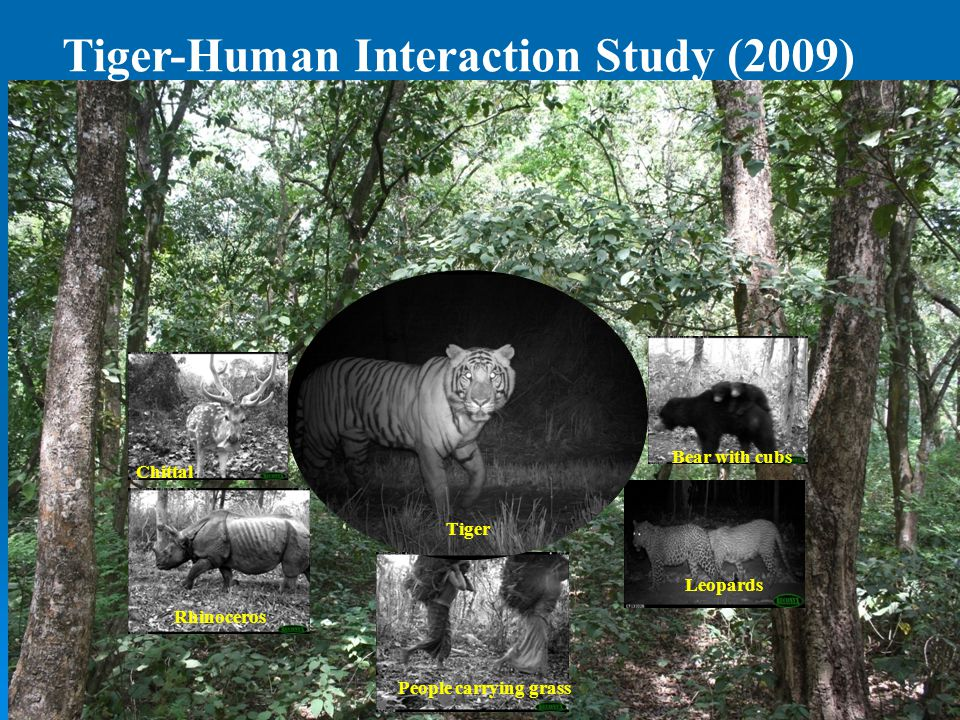 Tiger-Human Interaction Study (2009) Chittal Bear with cubs Leopards Rhinoceros Tiger People carrying grass