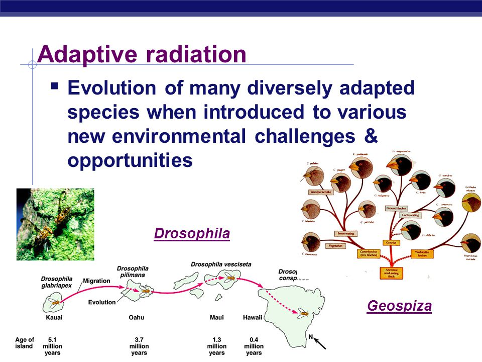 AP Biology Adaptive radiation  Evolution of many diversely adapted species when introduced to various new environmental challenges & opportunities Drosophila Geospiza