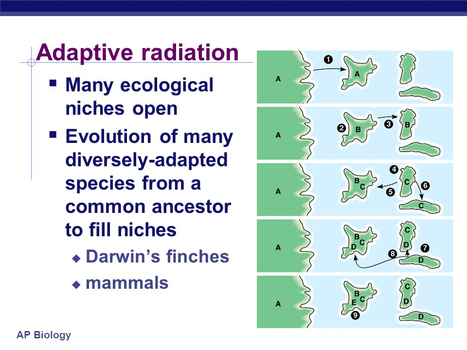 AP Biology Adaptive radiation  Many ecological niches open  Evolution of many diversely-adapted species from a common ancestor to fill niches  Darwin's finches  mammals