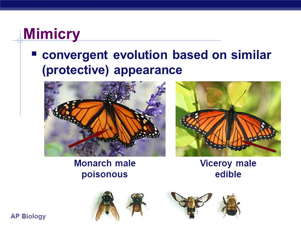AP Biology Mimicry  convergent evolution based on similar (protective) appearance Monarch male poisonous Viceroy male edible