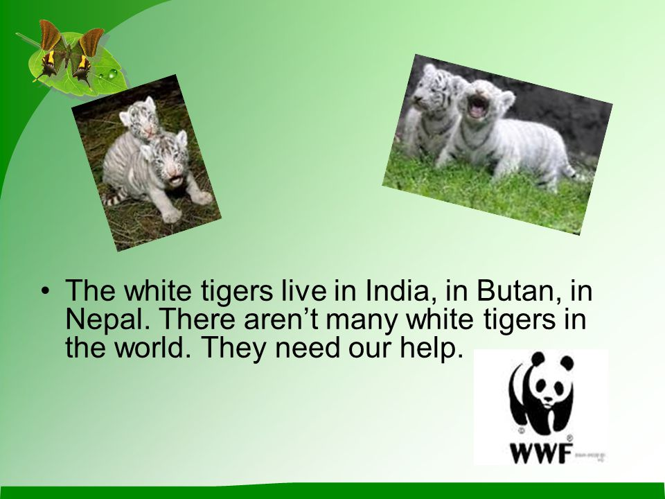 The white tigers live in India, in Butan, in Nepal.