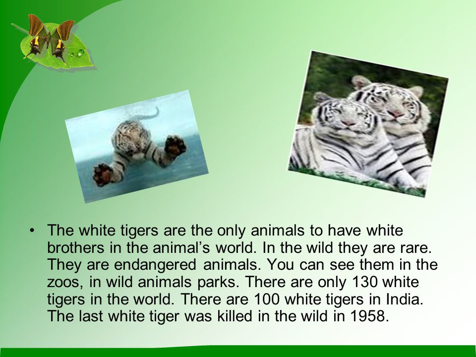 The white tigers are the only animals to have white brothers in the animal's world. In the wild they are rare. They are endangered animals. You can se