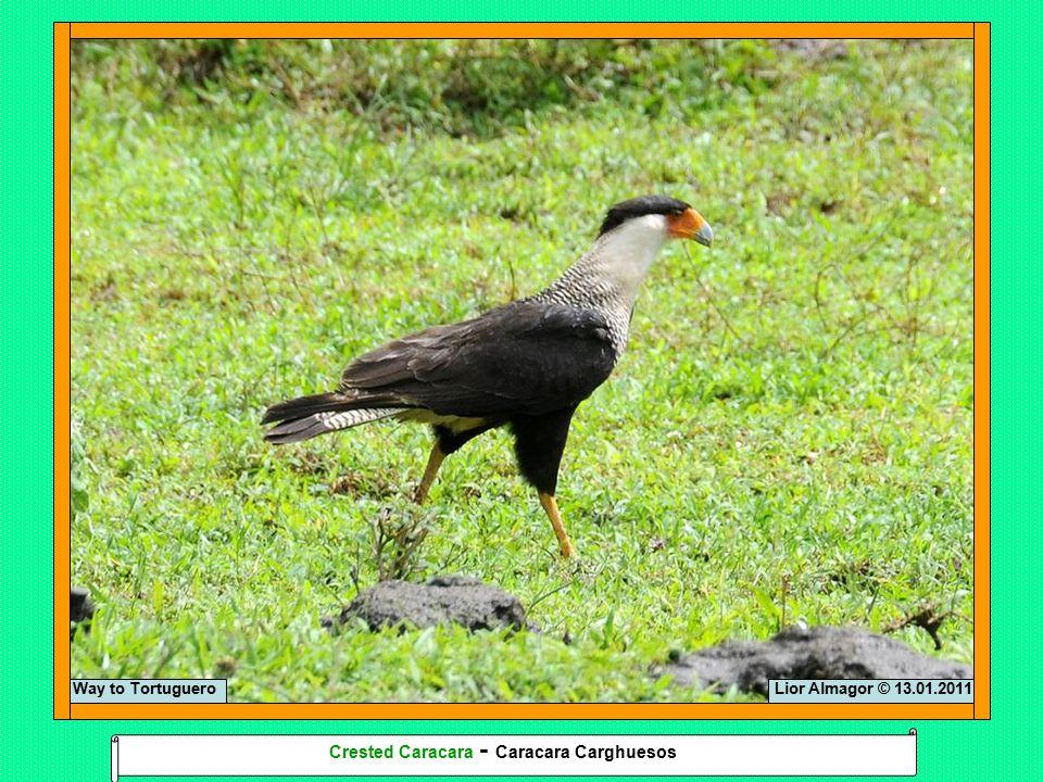Lior Almagor © 13.01.2011Way to Tortuguero Crested Caracara - Caracara Carghuesos