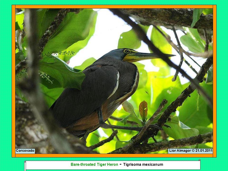Lior Almagor © 21.01.2011Corcovado Bare-throated Tiger Heron - Tigrisoma mexicanum