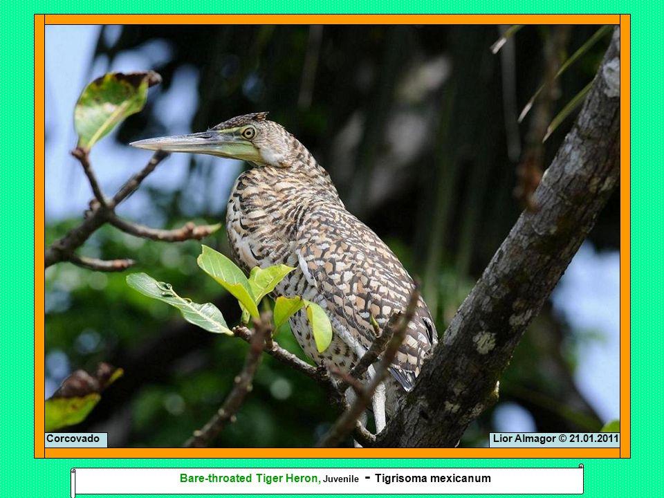 Lior Almagor © 21.01.2011Corcovado Bare-throated Tiger Heron, Juvenile - Tigrisoma mexicanum