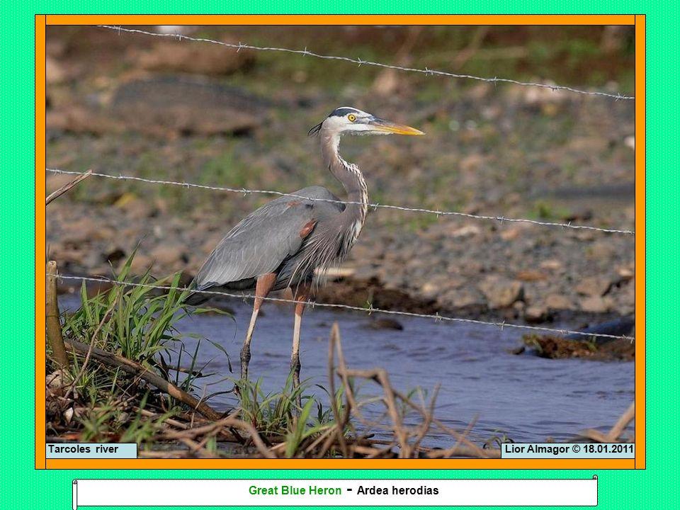 Lior Almagor © 18.01.2011Tarcoles river Great Blue Heron - Ardea herodias