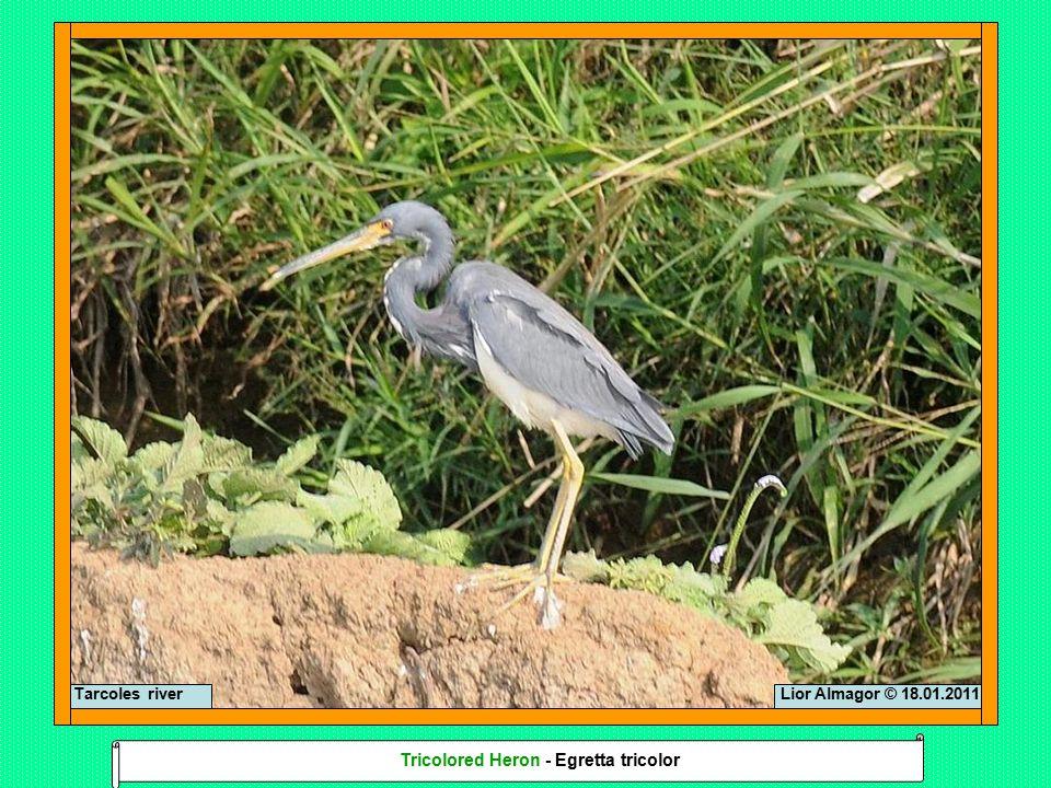 Lior Almagor © 18.01.2011Tarcoles river Tricolored Heron - Egretta tricolor