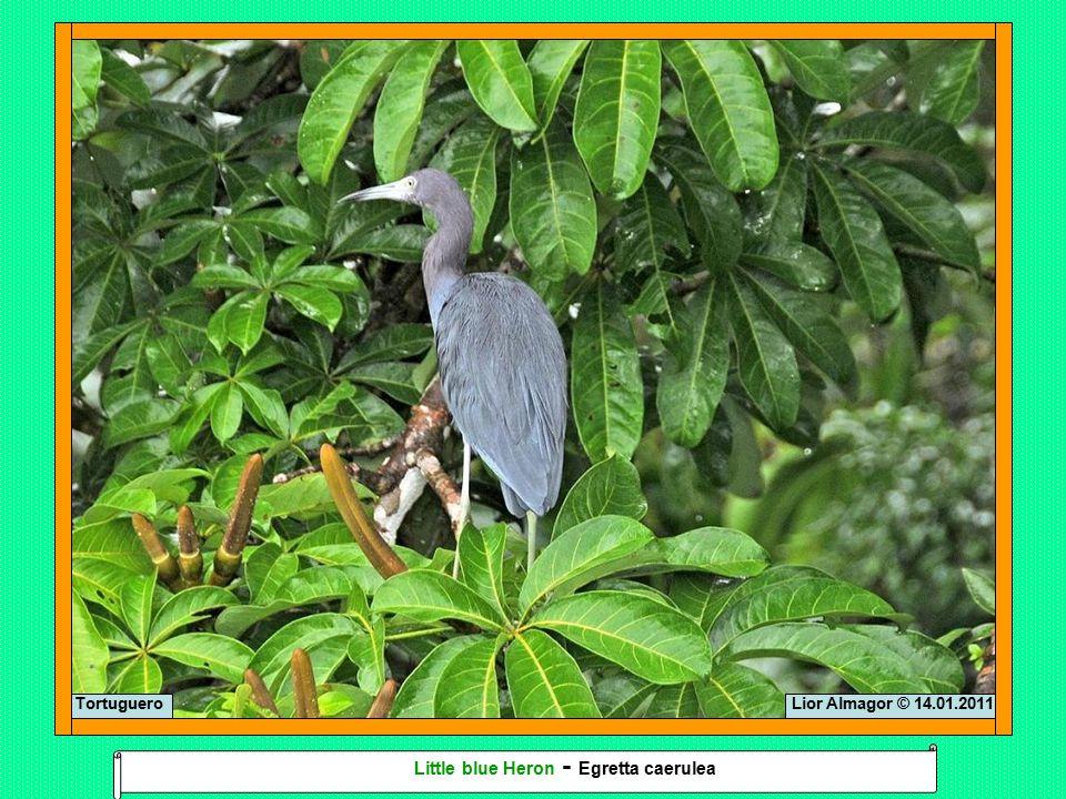 Lior Almagor © 14.01.2011Tortuguero Little blue Heron - Egretta caerulea