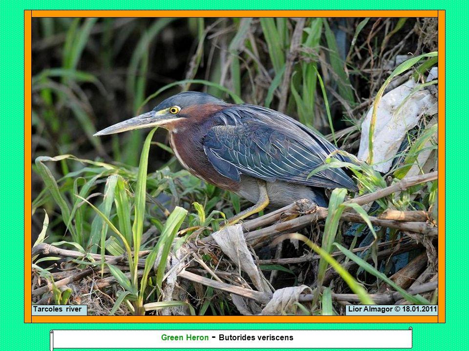 Lior Almagor © 18.01.2011Tarcoles river Green Heron - Butorides veriscens