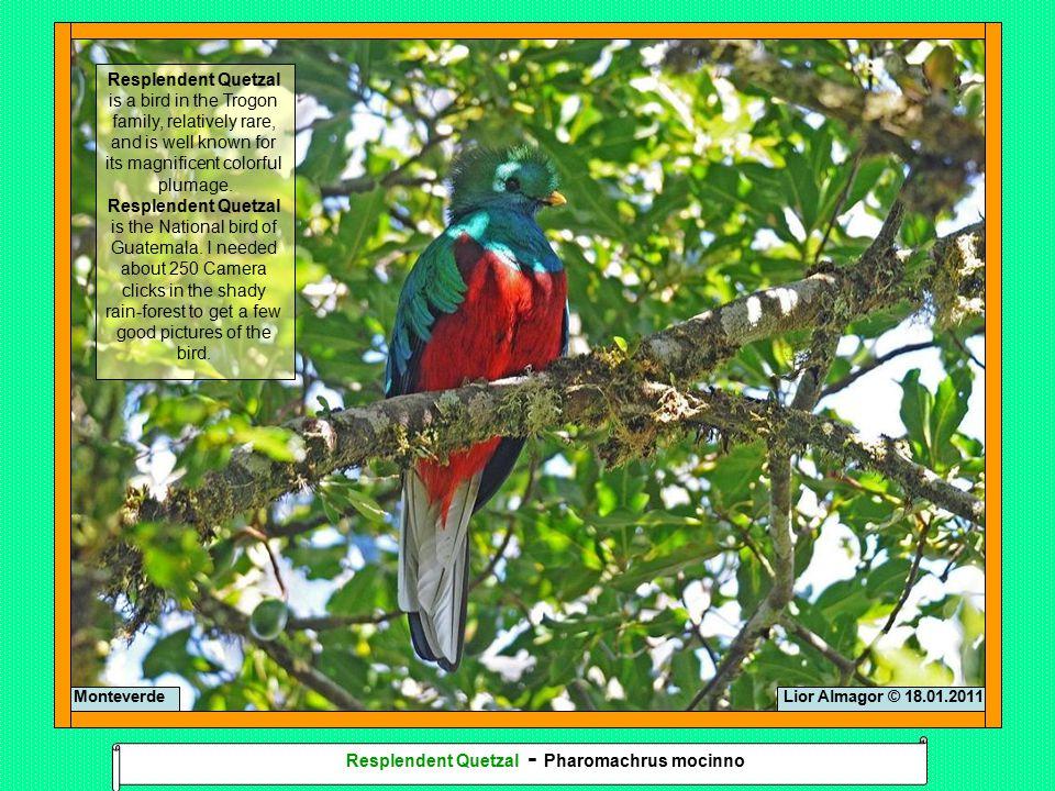 Lior Almagor © 18.01.2011Monteverde Resplendent Quetzal - Pharomachrus mocinno
