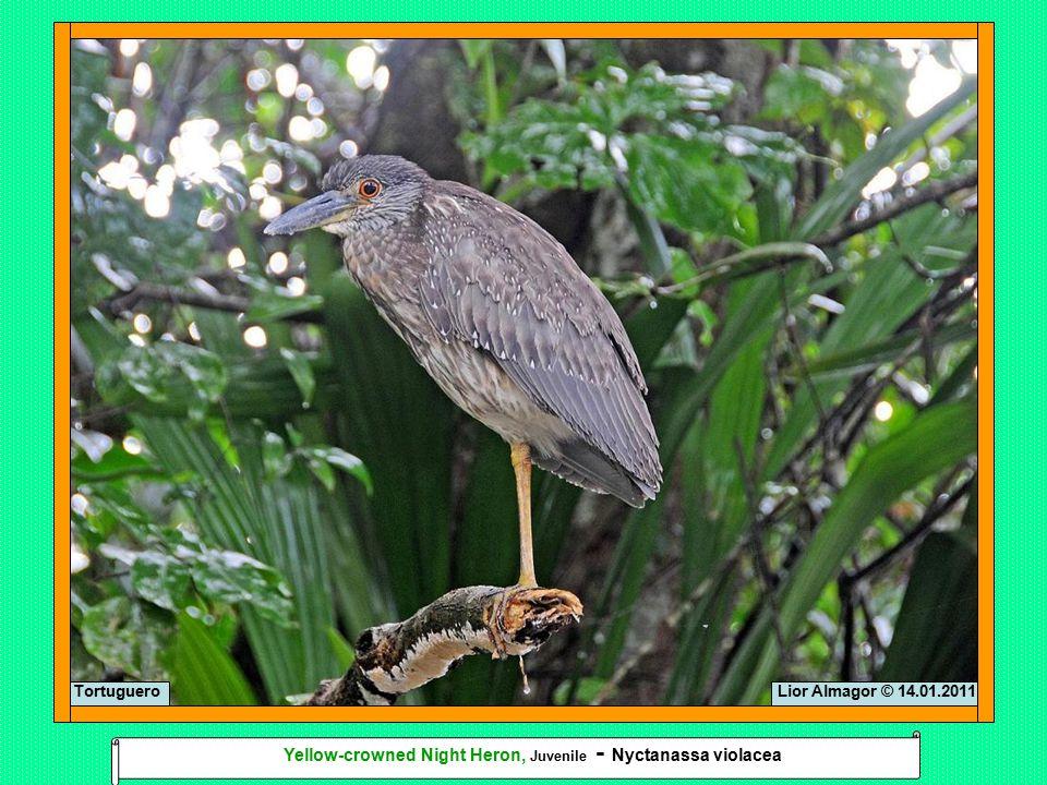 Lior Almagor © 14.01.2011Tortuguero Yellow-crowned Night Heron, Juvenile - Nyctanassa violacea