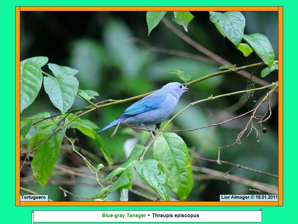 Lior Almagor © 15.01.2011Tortuguero Blue-gray Tanager - Thraupis episcopus