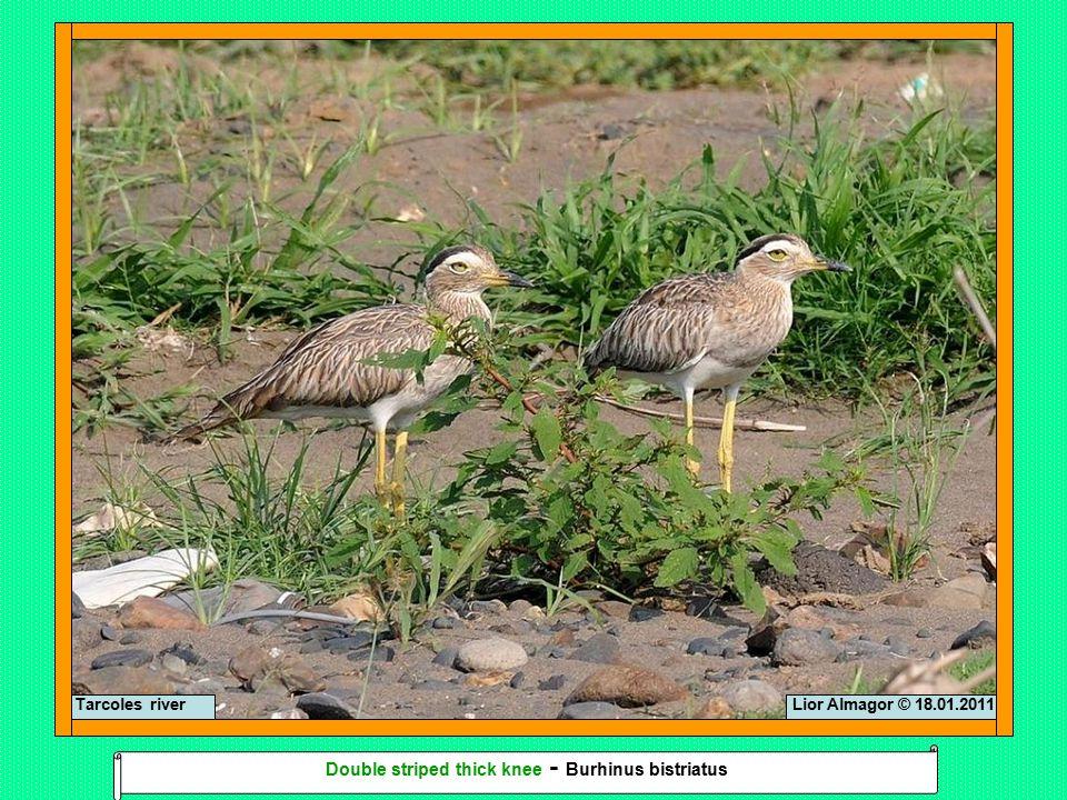 Lior Almagor © 18.01.2011 Double striped thick knee - Burhinus bistriatus Tarcoles river