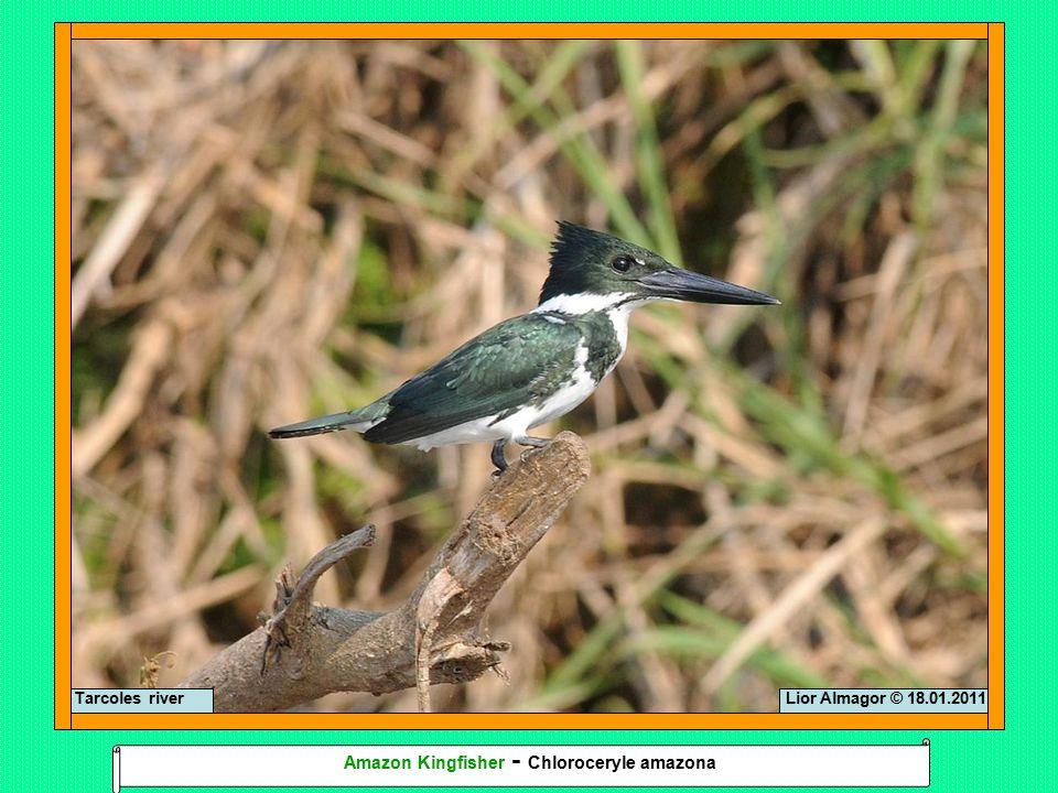 Lior Almagor © 18.01.2011 Amazon Kingfisher - Chloroceryle amazona Tarcoles river