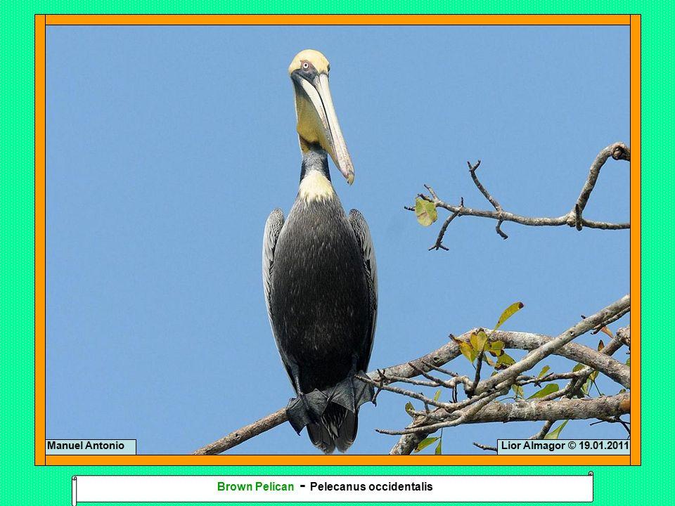 Lior Almagor © 19.01.2011Manuel Antonio Brown Pelican - Pelecanus occidentalis