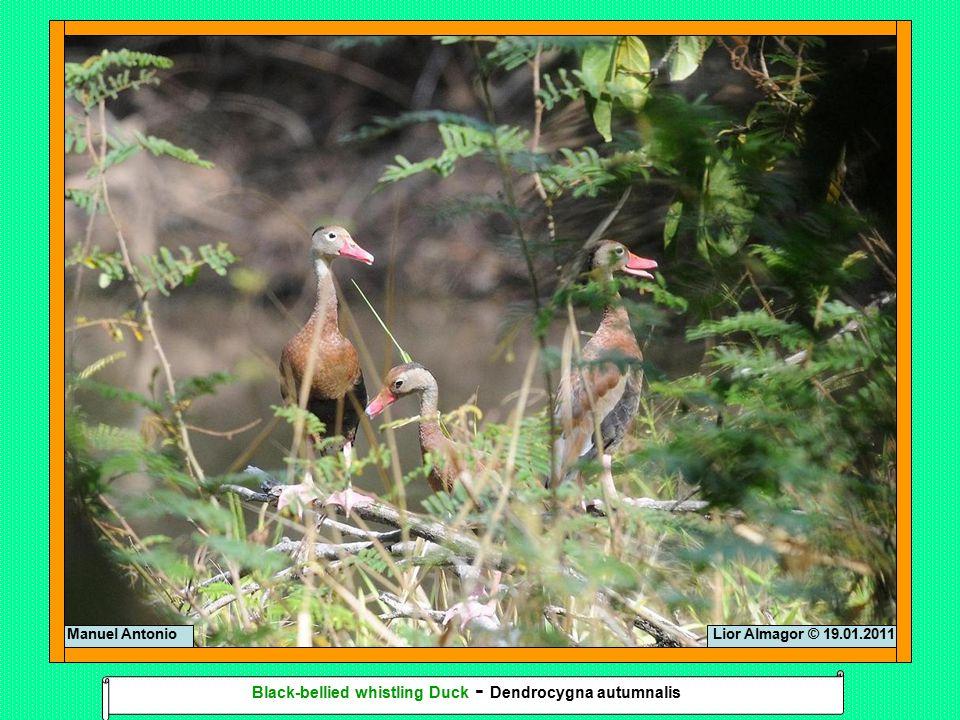 Lior Almagor © 19.01.2011Manuel Antonio Black-bellied whistling Duck - Dendrocygna autumnalis