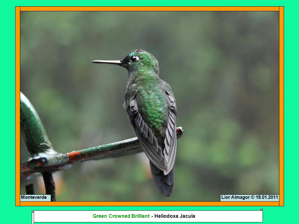 Lior Almagor © 18.01.2011 Monteverde Green Crowned Brilliant - Heliodoxa Jacula