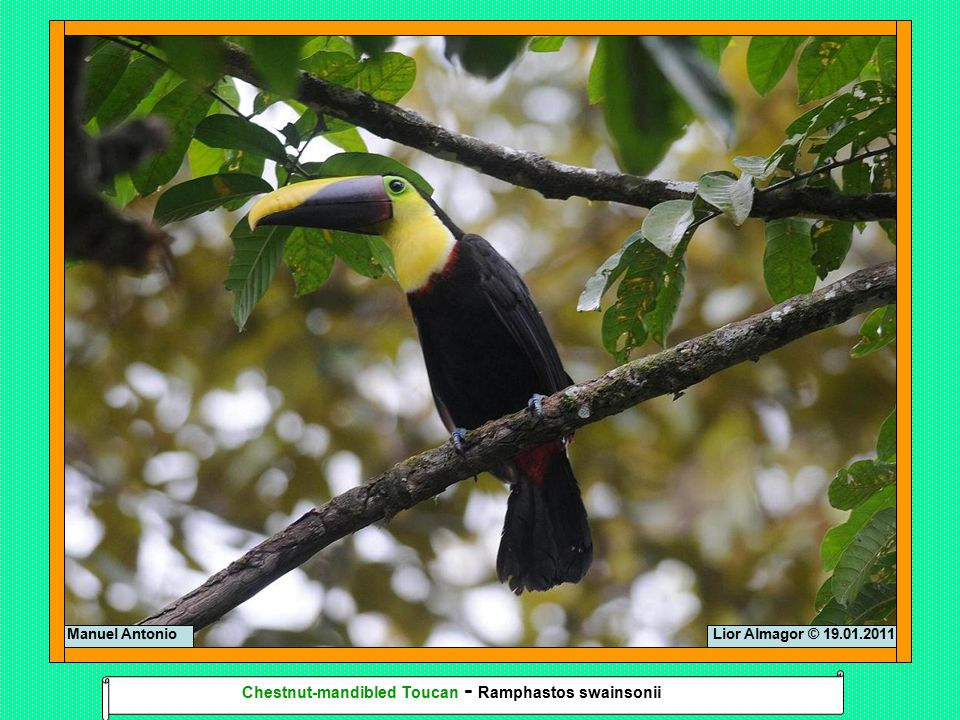 Lior Almagor © 16.01.2011Arenal Tropical Kingbird - Tyrannus melancholicus