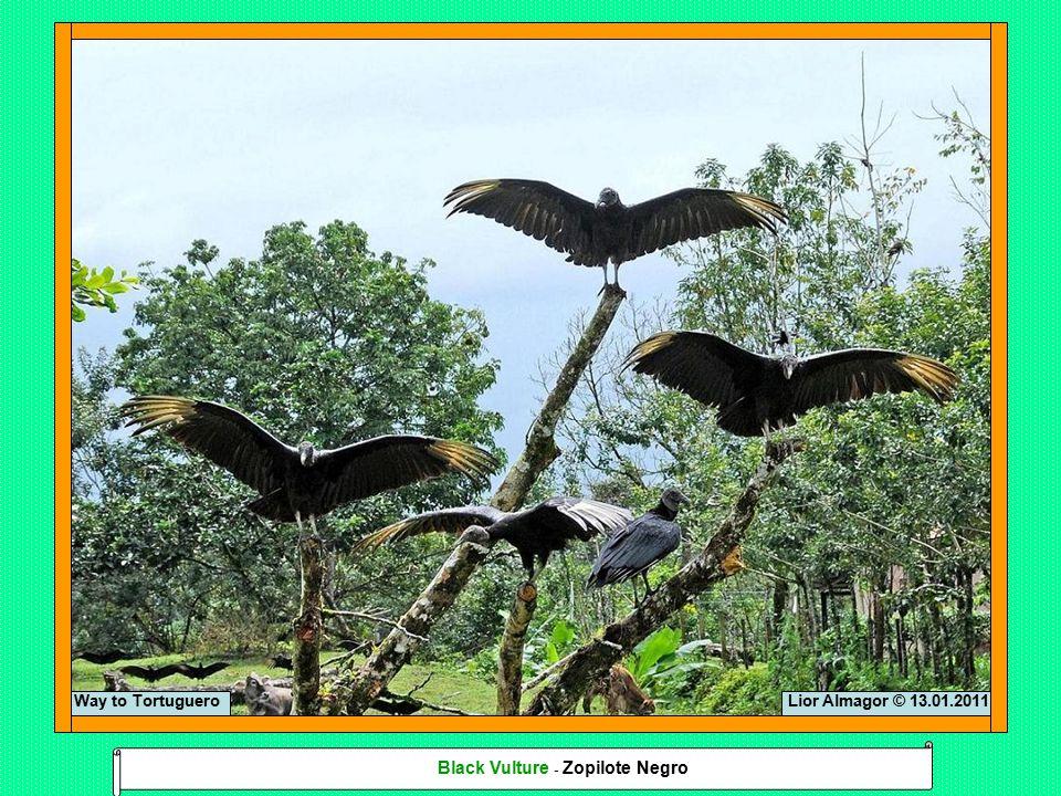 Lior Almagor © 13.01.2011Way to Tortuguero Black Vulture - Zopilote Negro