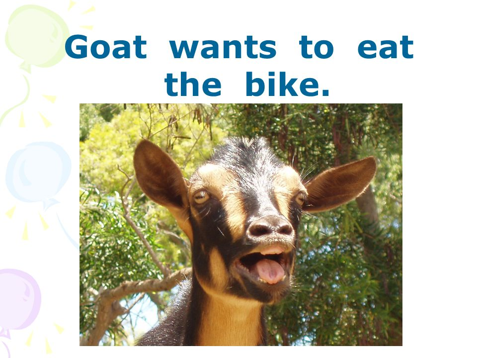 Goat wants to eat the bike.