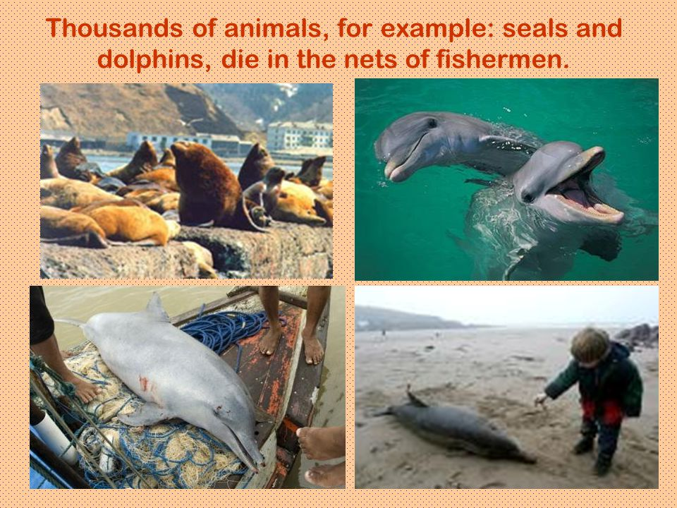 Thousands of animals, for example: seals and dolphins, die in the nets of fishermen.