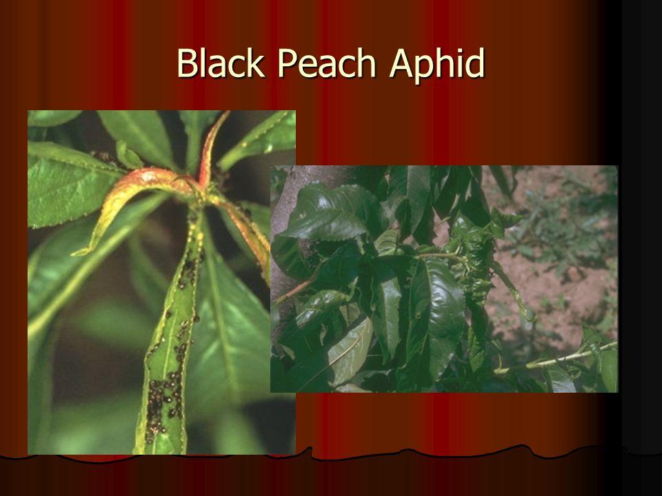 Black Peach Aphid