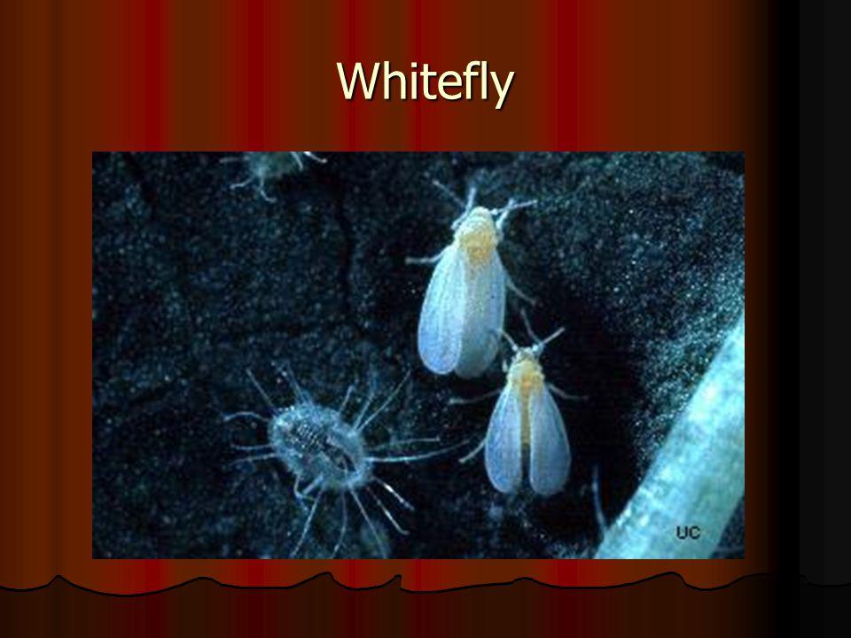 Whitefly