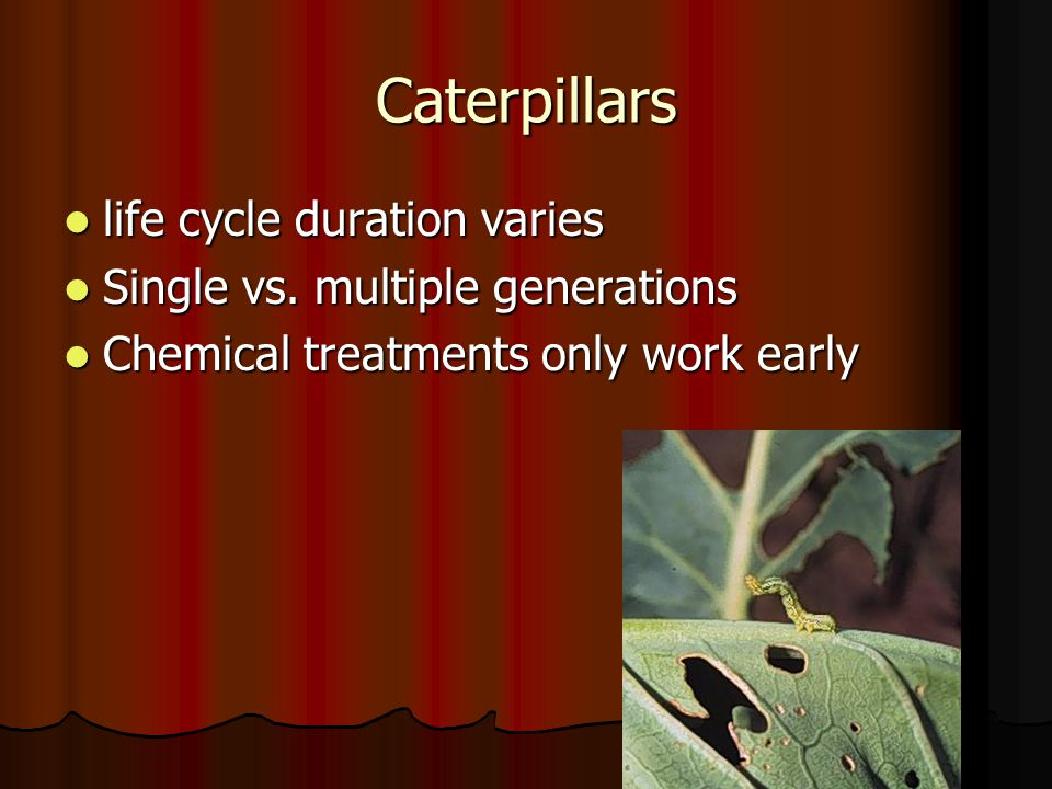 Caterpillars life cycle duration varies life cycle duration varies Single vs.