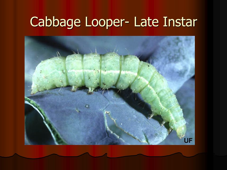 Cabbage Looper- Late Instar
