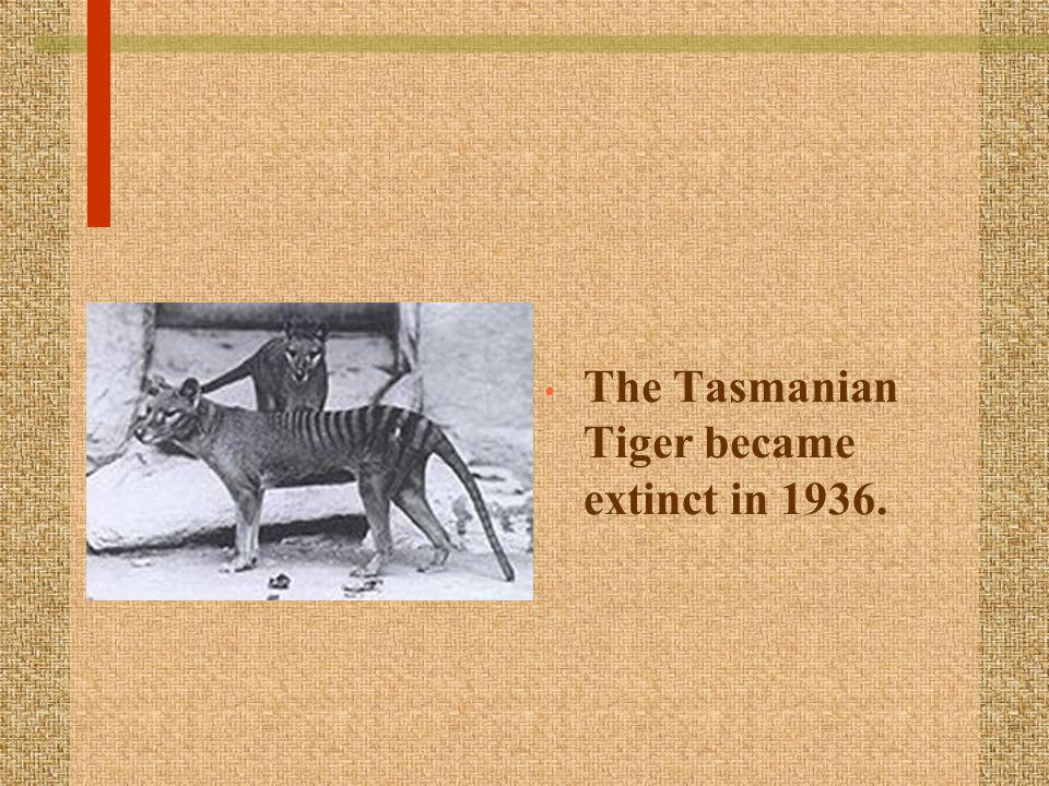The Tasmanian Tiger became extinct in 1936.