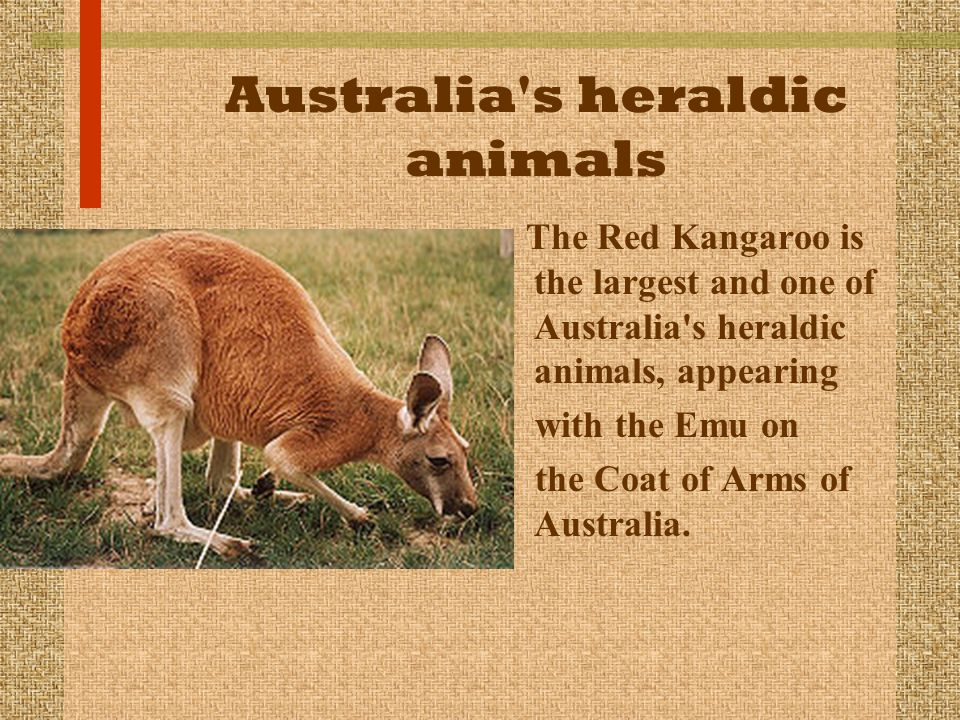 Australia's heraldic animals The Red Kangaroo is the largest and one of Australia's heraldic animals, appearing with the Emu on the Coat of Arms of Au