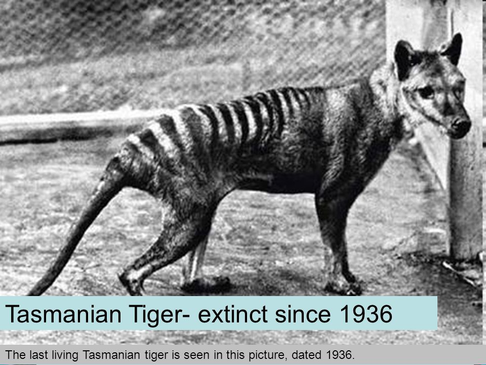 Irish Elk- extinct 7,700 years agoWholly Mammoth- extinct 3,700 years agoCave Lion- extinct 2,000 years ago Dodo Bird- extinct since 17 th Century Stellar's Sea Cow: Defenseless Beast - extinct since 1768 The last living Tasmanian tiger is seen in this picture, dated 1936.