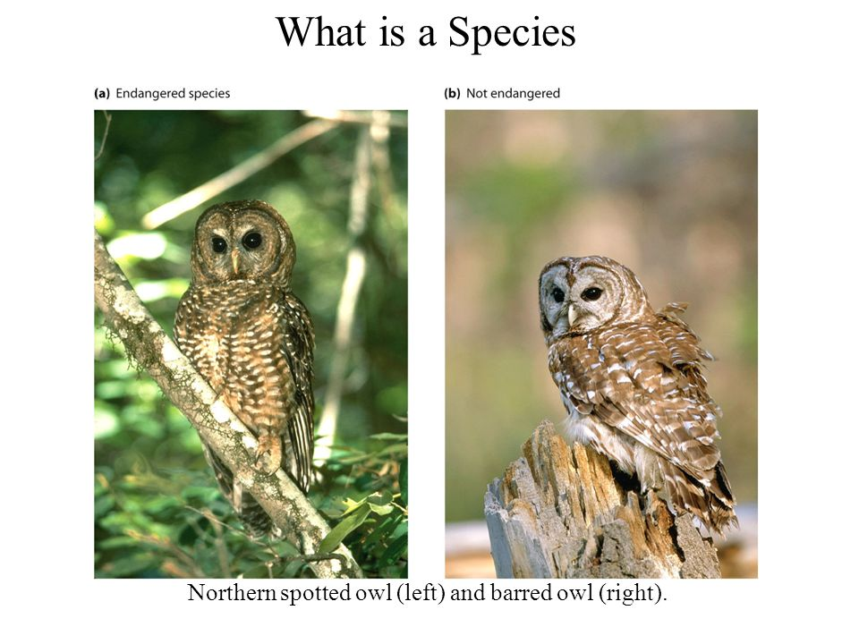 What is a Species Northern spotted owl (left) and barred owl (right).