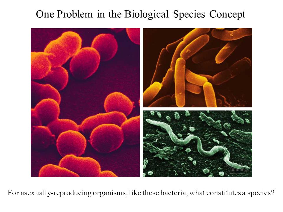 One Problem in the Biological Species Concept For asexually-reproducing organisms, like these bacteria, what constitutes a species