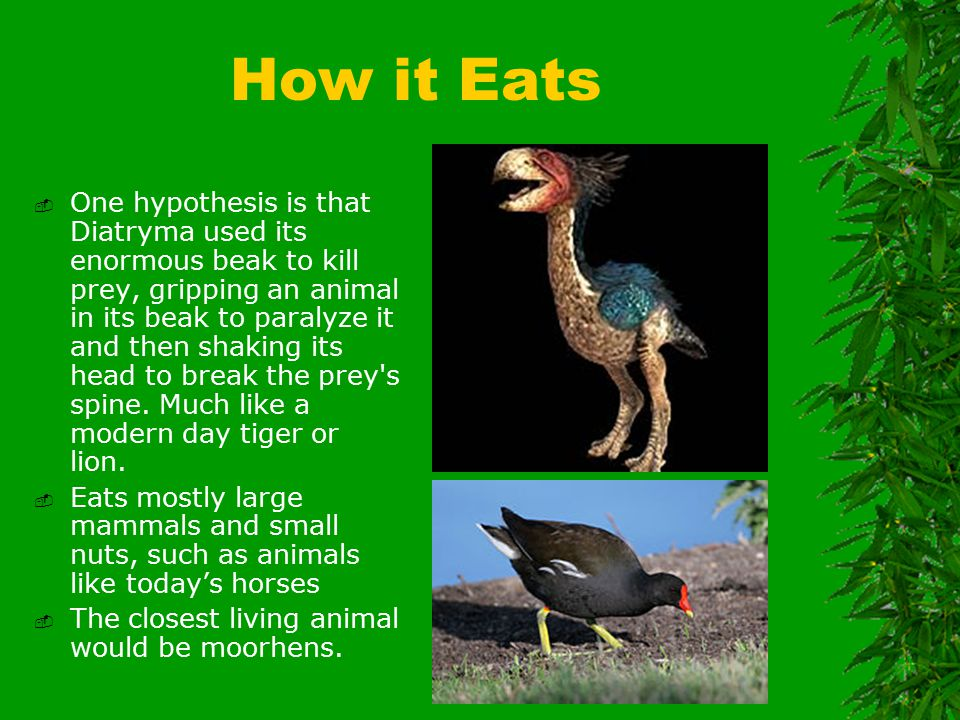 How it Eats  One hypothesis is that Diatryma used its enormous beak to kill prey, gripping an animal in its beak to paralyze it and then shaking its head to break the prey s spine.
