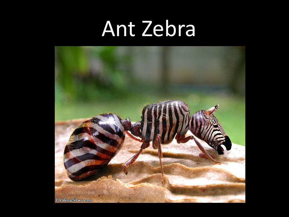 Ant Zebra