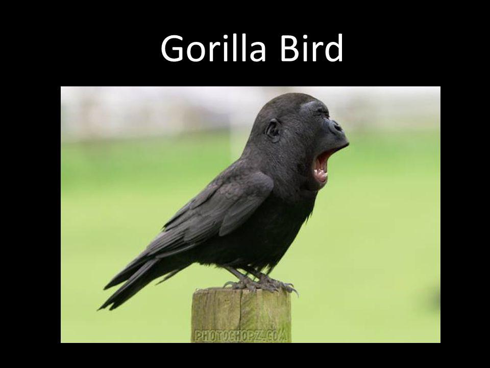 Gorilla Bird